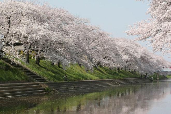 kakamigahara-sakura2